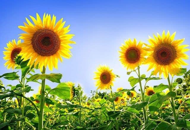 bó hoa hướng dương đẹp, giá rẻ
