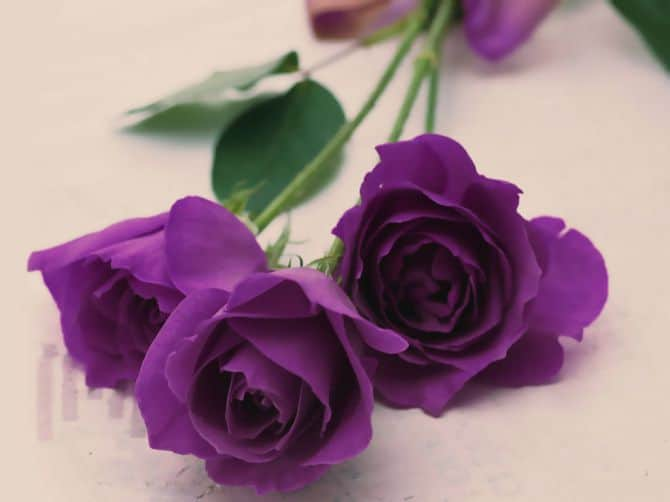 Hoa hồng màu tím đẹp độc