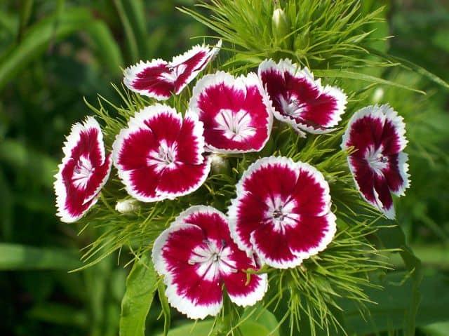 Hình ảnh hoa cẩm tú