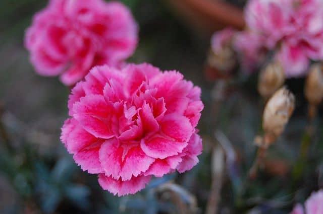 Hoa cẩm chướng đẹp