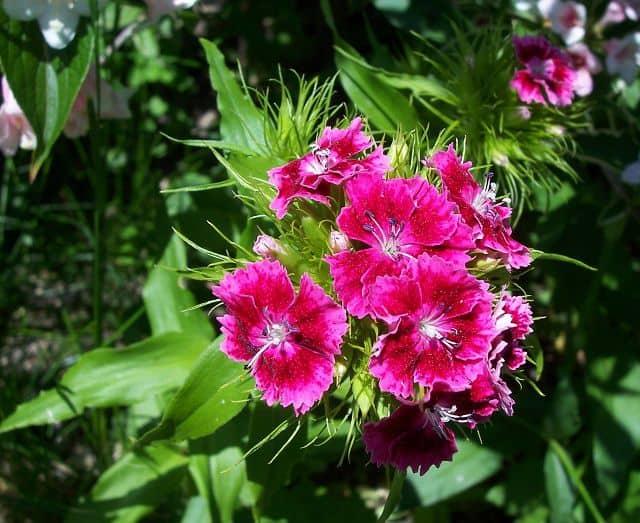 hoa cẩm tú đẹp lung linh