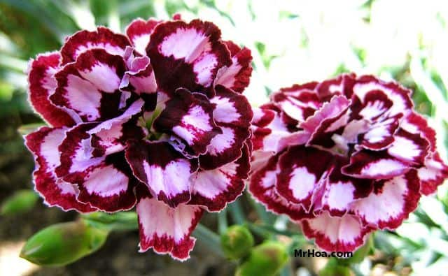 Hoa cẩm chướng 20 10