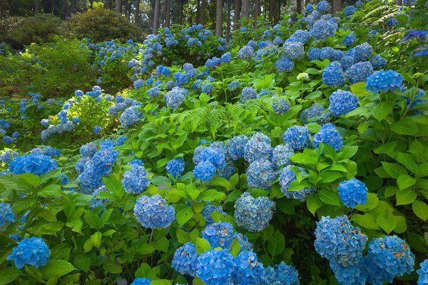 vườn hoa cẩm tú cầu xanh