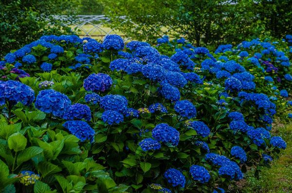 Hoa cam tu cau xanh dam
