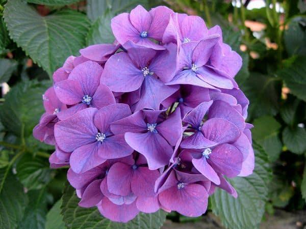 Hoa cẩm tú cầu màu tím đẹp