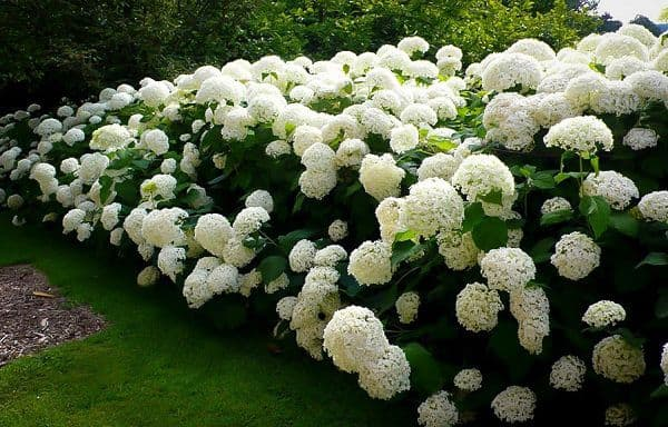 Cẩm tú cầu trắng trong vườn