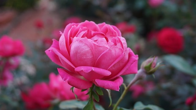 những bông hoa hồng đẹp nhất thế giới