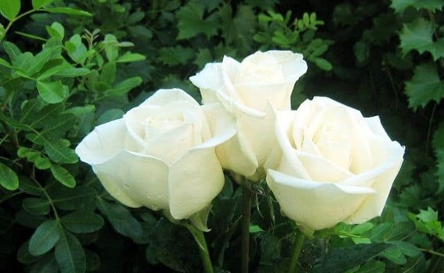 ba bông hoa hồng bạch