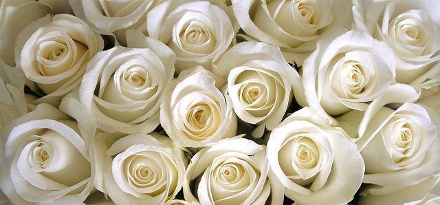 Hình ảnh hoa hồng bạch đẹp