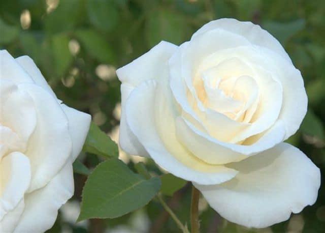 Bông hoa hồng bạch