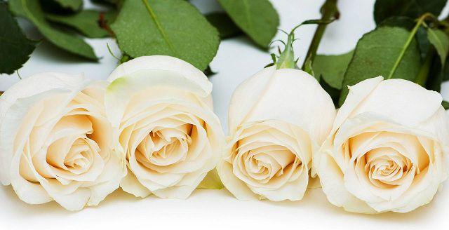 Hoa hồng trắng bạch