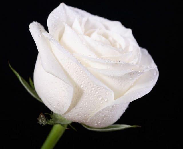 Hoa hồng trắng và giọt sương
