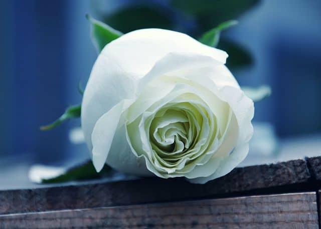 Bông hoa hồng trắng đẹp quá