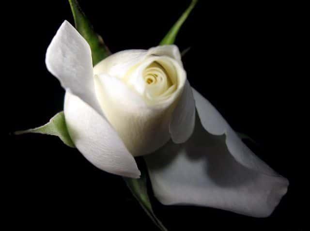 Hoa hồng bạch đẹp lung linh