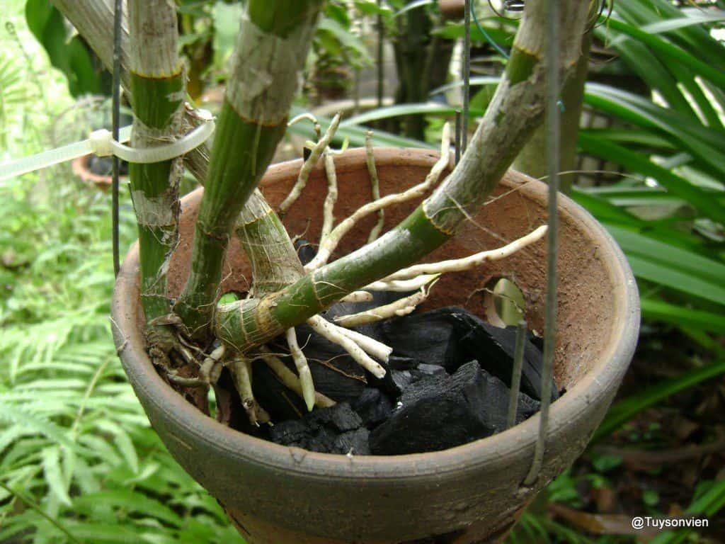 kĩ thuật trồng lan hồ điệp bằng than củi