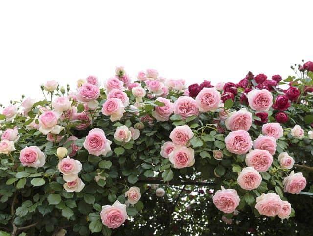 vuon hoa hong leo dep
