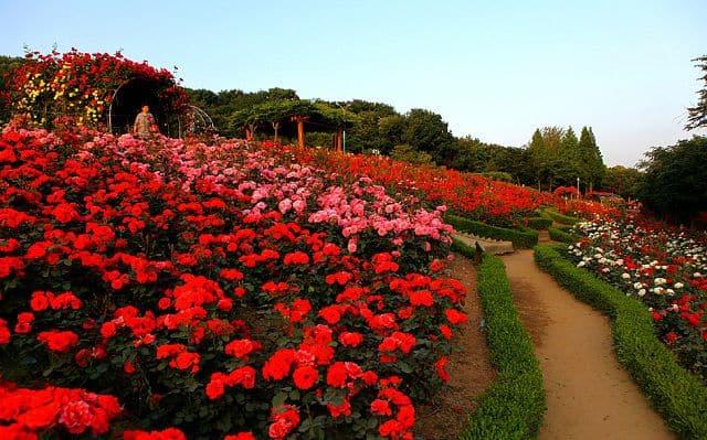 Vườn hoa hồng đỏ đẹp