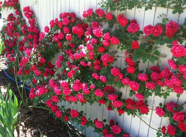 Vườn hoa hồng leo đẹp