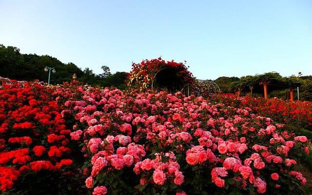 Vườn hoa hồng đẹp nhất thế giới