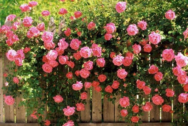 Hoa hồng leo 2017