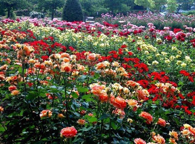 Vườn hoa hồng đẹp nhất thế giới 2017