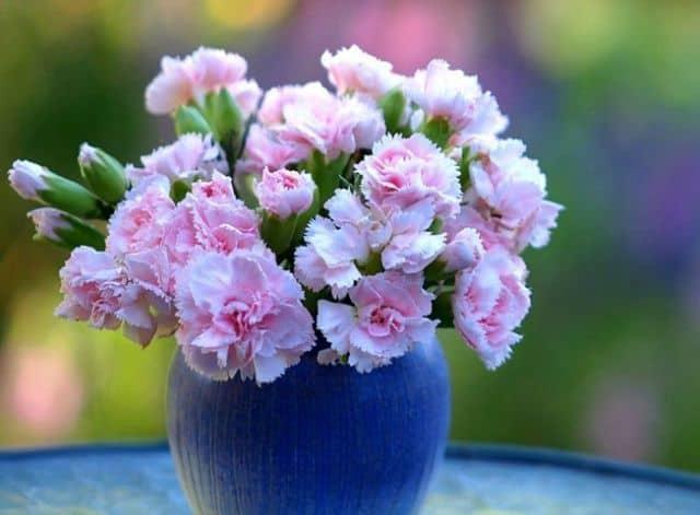 Hoa cẩm chướng cắm bình