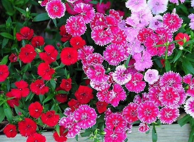 Mua hoa cẩm chướng giá rẻ ở đâu