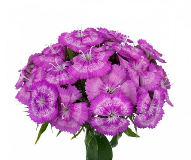 Hoa cẩm chướng tím tặng mẹ 20-10