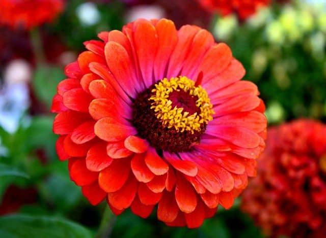 Hoa cúc đẹp nhất