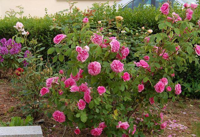 Hoa hồng bụi đẹp