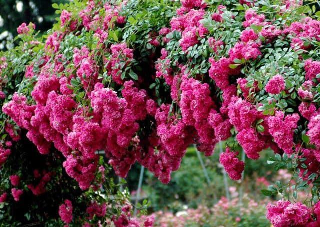 Các loại hoa hồng