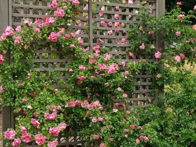 Hoa hồng leo đẹp