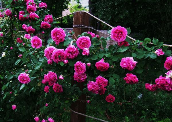 Hình ảnh đẹp hoa hồng leo