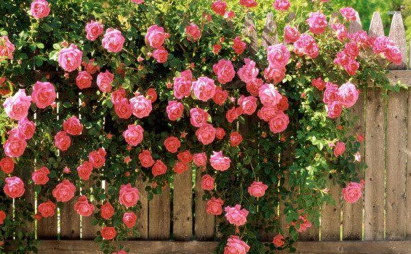 Hoa hồng leo trồng trên bờ rào