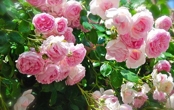 Hoa hồng leo màu hồng