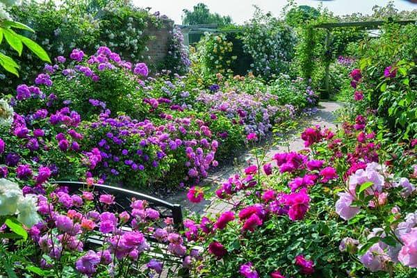 Vườn hoa hồng leo