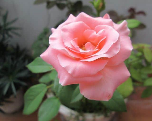 Hoa hồng nhạt
