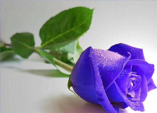 ý nghĩa các màu sắc hoa hồng