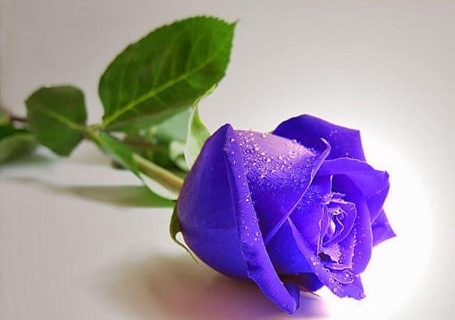 Hoa hồng xanh tím