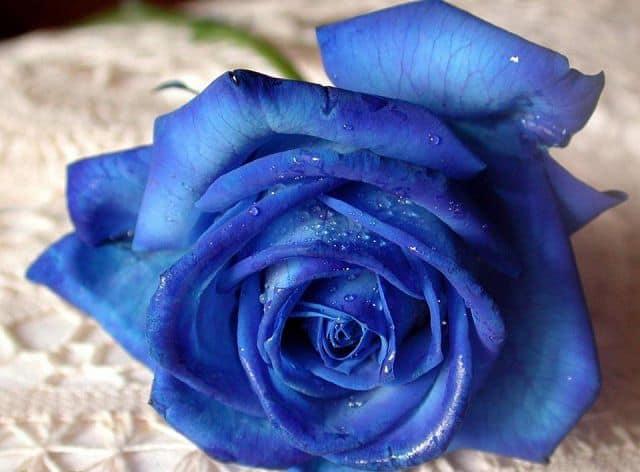 Câu chuyện ý nghĩa về hoa hồng xanh