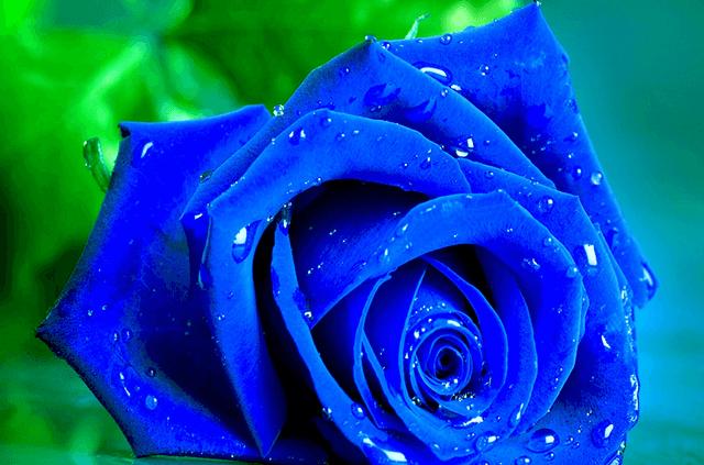 Hình ảnh đẹp hoa hồng xanh