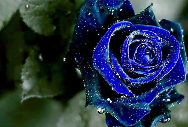 Hoa hồng xanh hoa bất tử