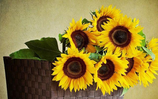 Hoa tặng mẹ 20-10 hướng dương