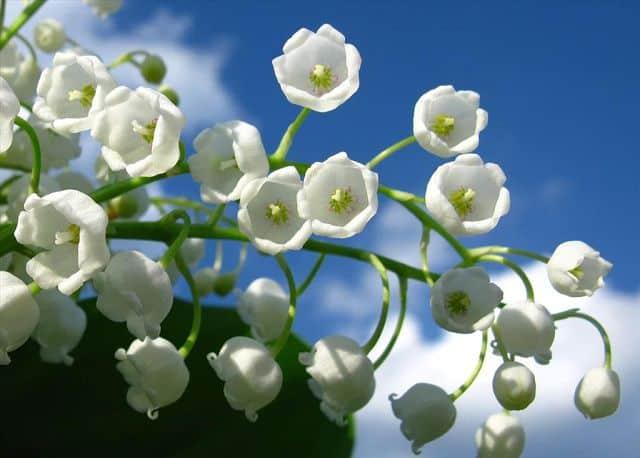 Hoa lan chuông 20 -10