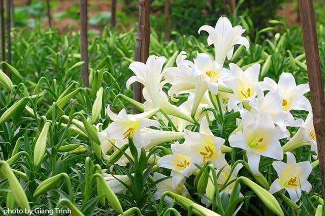 Hoa loa kèn trắng