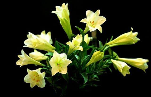 Hoa loa kèn vàng đẹp mắt