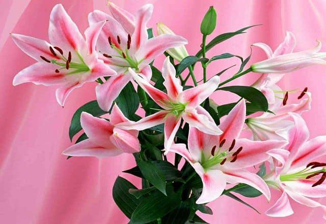 Hoa ly cho mẹ