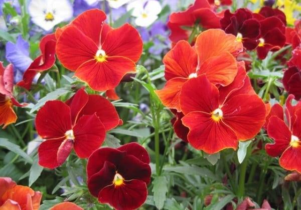 Hoa păng xê đẹp đỏ