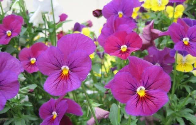 Hoa panesse