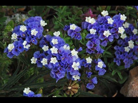 hoa salem xanh